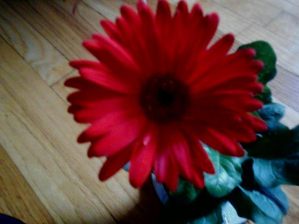 Happy Gerbera