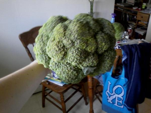 Broccoli bigger than my head